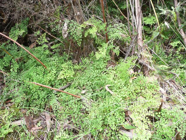 Maidenhair fern - a carpet in certain areas