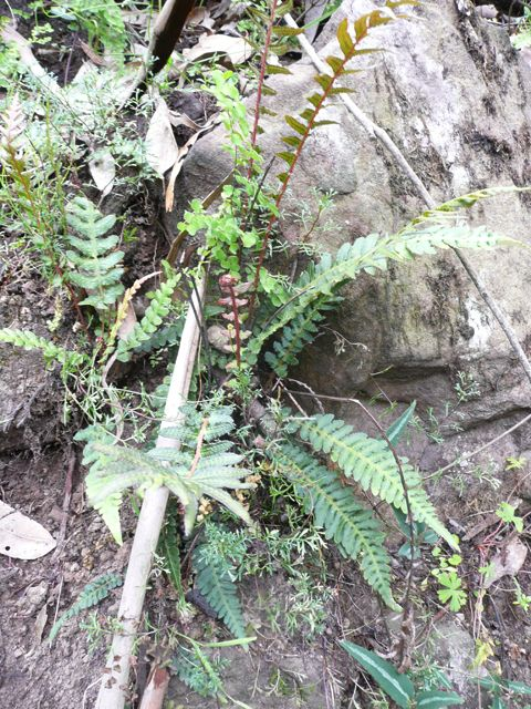 Rasp Fern growing in a rocky section