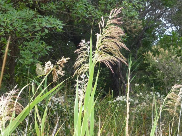 Common Reed in flower