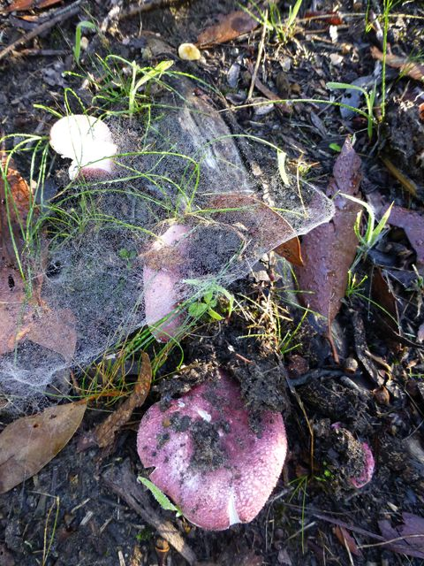Russula fungus with cobwebs
