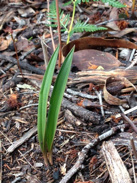 Leaves of Sun Orchids were beginning to appear