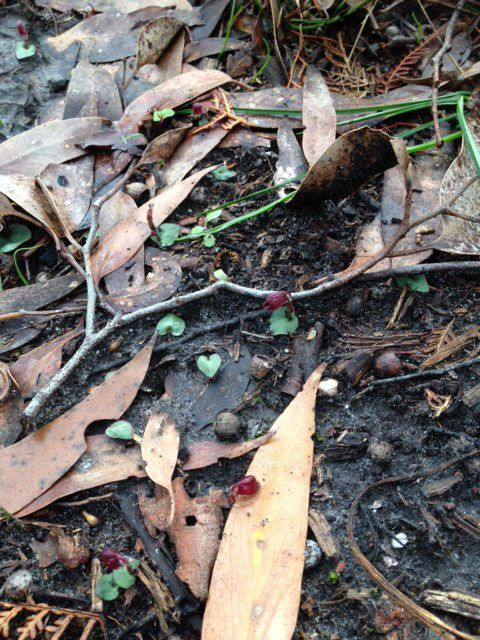 Tiny Helmet Orchids with their heart-shaped leaves scattered throughout the ground litter