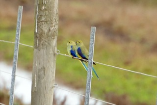 Blue-winged parrots on fence
