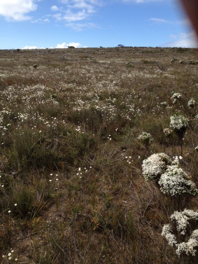 White heathlands