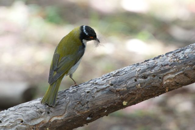 White-naped Honeyeater gathering nest material