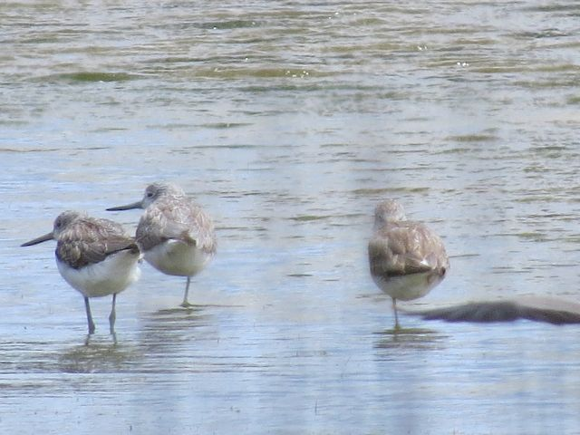 Just Common Greenshanks!