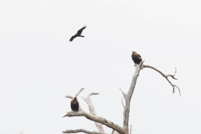 wedgetail and whistlingkite