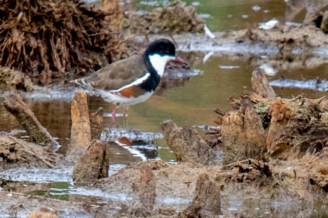 red kneed dotterel