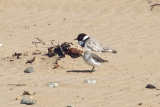 Hooded Plover and Red-necked Stint