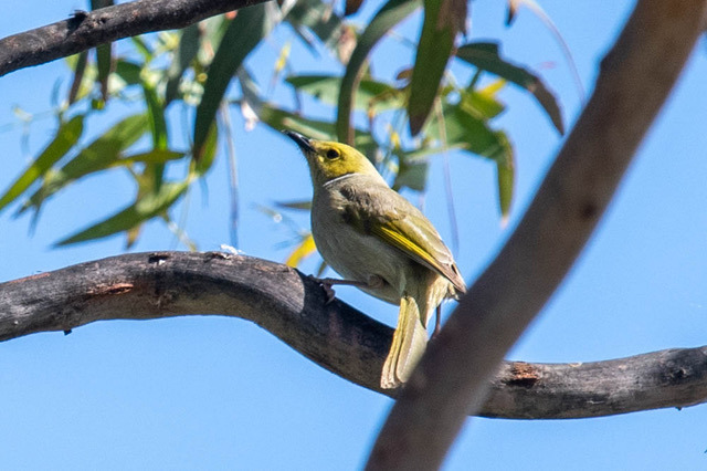 white plumed honeyeater