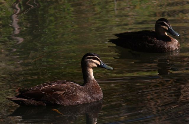 Australian Black Ducks