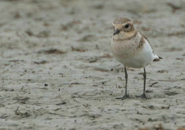 Double-banded Plover at Hospital Swamp