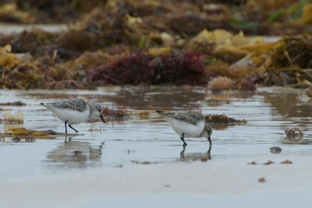 Red-necked Stints at Blue Rocks