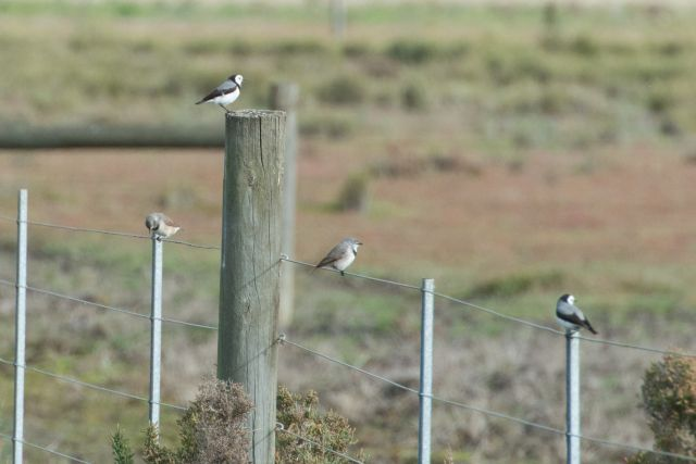 White-fronted Chats