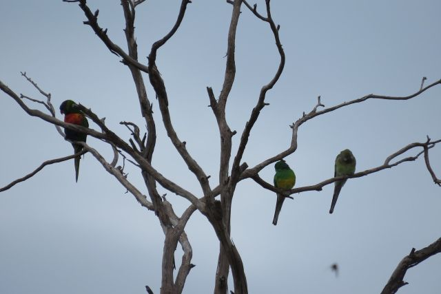 Rainbow Lorikeet and 2 Red-rumped parrots