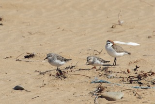 Red-necked Stints and Red-capped Plover