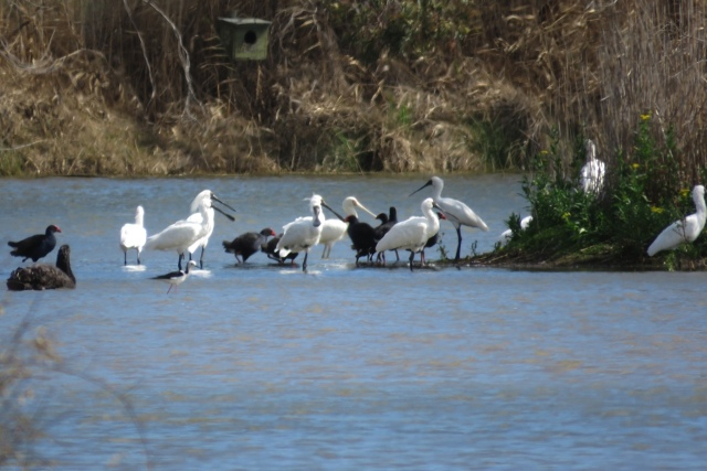 Spoonbills & other waterbirds