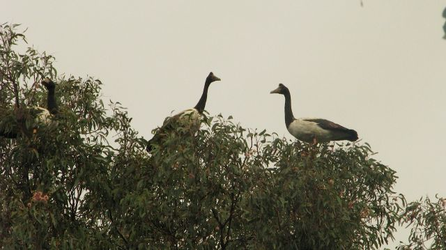 Magpie Geese in the trees