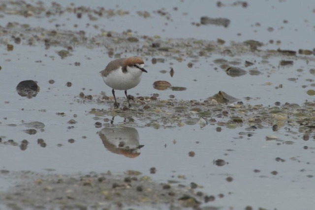 Red-capped Plover / Dotterel