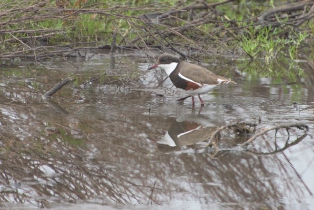 Pink-kneed Dotterel