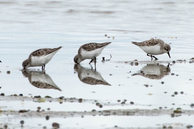 Red-necked Stints