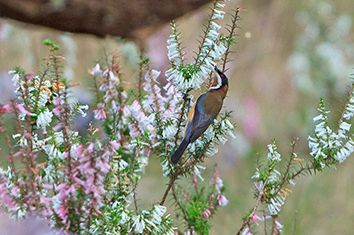 Eastern Spinebill pollinating Common Heath