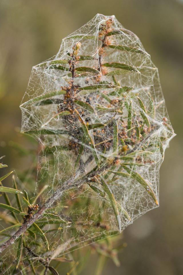 A spectacular spider web on the Western Furze Hakea
