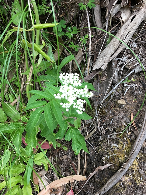 Native Elderberry