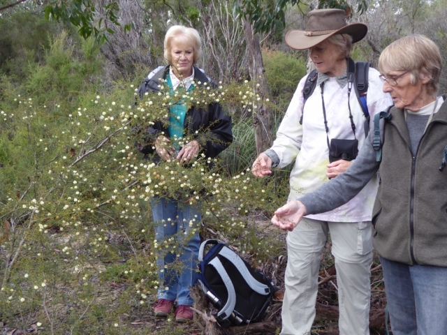 Observing Juniper Wattle