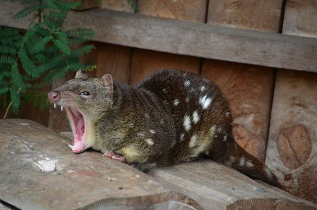 Adult female Spot-tailed Quoll