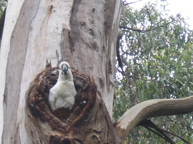 A young Sulphur-crested Cockatoo was quietly watching us as it remained at the entrance to its nest – once home for Sugar Gliders