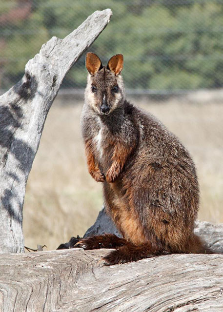 Brush-tailed Rock Wallabies