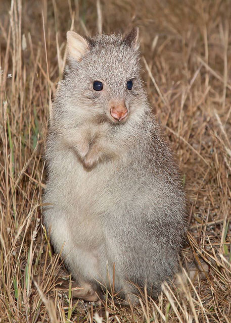 Rufous Bettongs