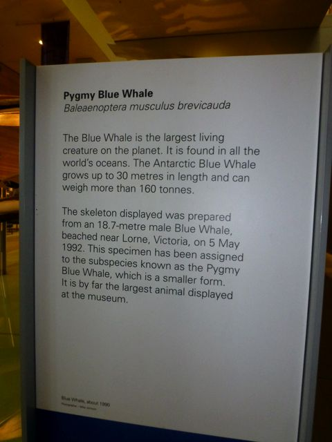 Pygmy Blue Whale sign