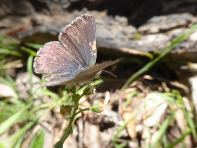 Grass-blue butterfly on Sweet Hound's-tongue
