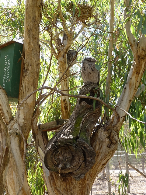 Two well-camouflaged Tawny Frogmouth motionless amongst the leafy vegetation
