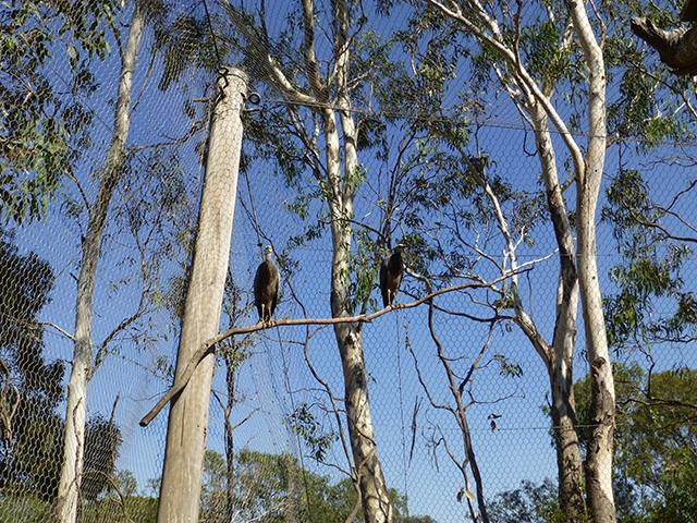 A pair of White-faced Herons high among the tree tops