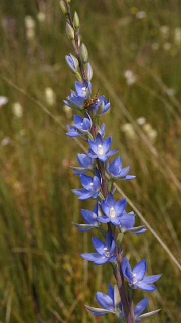 Great Sun Orchid