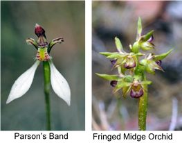 Parson's Band and Fringed Midge Orchid