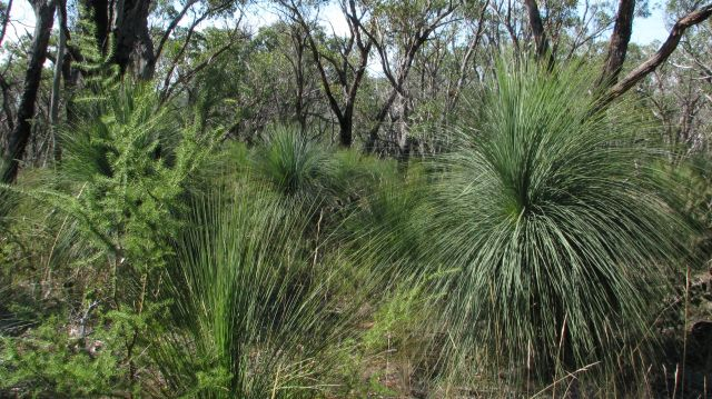 Grass-trees and Prickly Moses
