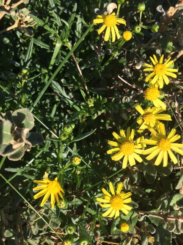 Variable Groundsel