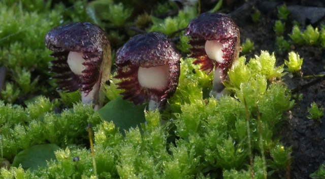 Veined Helmet Orchids in moss