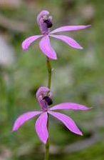 Black-tongue Caladenia