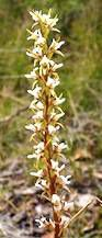 Scented Leek Orchid