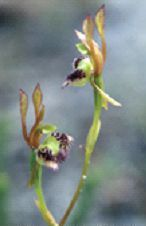 Fringed Hare Orchid