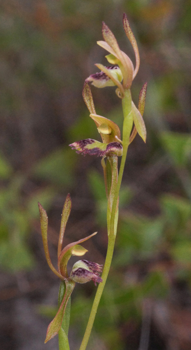 hare orchid in better season
