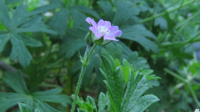 Rough Crane's-bill