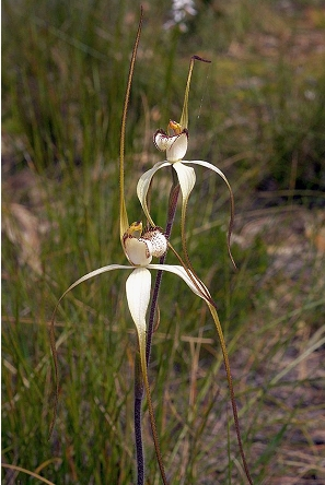 Large White Spider Orchid