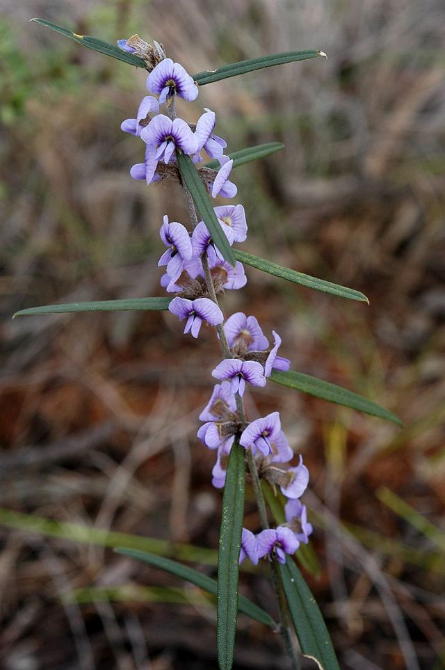 commonhovea