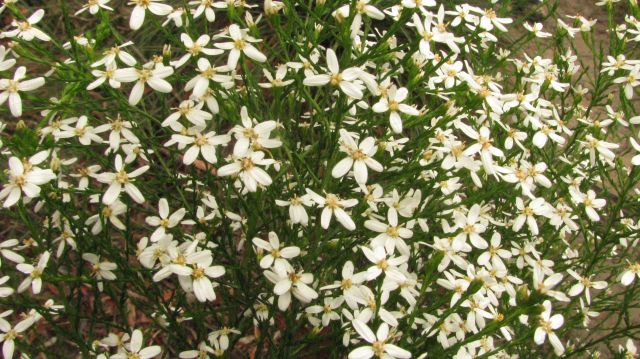 cypress daisy-bush